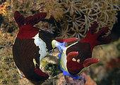 pair of mating nudibranchs (Nembrotha sp.) Anilao, Philippines. Pacific Ocean.
