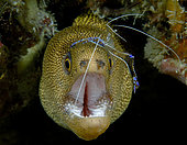 Goldentail Moray Eel (Gymnothorax miliaris) being cleaned by a Pederson Cleaner Shrimp (Periclimenes pedersoni). Boynton Beach, Florida, U.S.A. Atlantic Ocean.