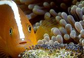 Orange Anemonefish (Amphiprion sandaracinos) guarding its eggs. Anilao, Philippines. Pacific Ocean