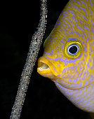 Golden Damsel (Amblyglyphidodon aureus) aerating its eggs. Anilao, Philippines. Pacific Ocean