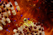 Commensal shrimp (Allopontonia iaini) on Fire urchin. Anilao, Philippines. Pacific Ocean.