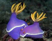 Pair of mating nudibranchs (Hypselodoris apolegma). Anilao, Philippines. Pacific Ocean.