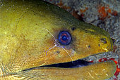 Green Moray (Gymnothorax funebris) being cleaned by a Pederson Cleaner Shrimp (Periclenes pedersoni). Boynton Beach, Florida, U.S.A. Atlantic Ocean.