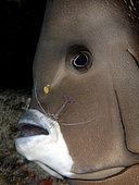 Gray Angelfish (Pomacanthus arcuatus) being clened by a Pederson Cleaner Shrimp (Periclenes pedersoni). Boynton Beach, Florida, U.S.A. Atlantic Ocean.
