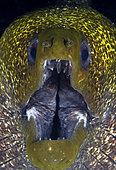 Yellowmargin Moray Eel (Gymnothorax flavimarginatus) portrait. Eilat, Israel. Red Sea.