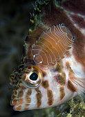 Poisson-épervier à taches rouges (Cirrhitichthys aprinus) avec un Isopode attaché (Cymothoid sp). Horseshoe Bay, Rinca Island, Parc National de Komodo, Indonésie, océan Pacifique.