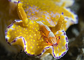 Imperial Shrimp, Periclimenes imperator, hitches a ride on a Purple-edged Ceratosoma nudibranch (Ceratosoma tenue). Lembeh Strait, North Sulawesi, Indonesia. Pacific Ocean.