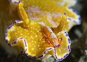 Crevette nettoyeuse impériale (Periclimenes imperator) sur une Cératosome ténue (Ceratosoma tenue), Détroit de Lembeh, Sulawesi du Nord, Indonésie. Océan Pacifique.
