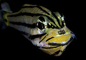 Apogon à cinq lignes (Cheilodipterus quinquelineatus) aérant ses oeufs dans sa bouchée. Détroit de Lembeh, Sulawesi du Nord, Indonésie. Océan Pacifique.