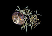 Female Paper Nautilus, Argonauta species, found hiding in Sargassum during a blackwater drift dive. Palm Beach, Florida, USA, Atlantic Ocean.