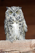 Great Horned Owl (Bubo virginianus) young spring, fall, Denali NP, Alaska