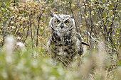 Great Horned Owl (Bubo virginianus) adulte on ground, fall, Denali NP, Alaska