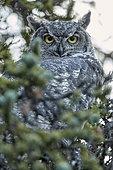 Great Horned Owl (Bubo virginianus) adulte on a branch, fall, Denali NP, Alaska