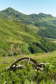 Remains of sheep guarded by Patous (Pyrenean Mountain Dog), killed by wolves and cleaned by vultures, Monts du Cantal. Auvergne Volcanic Regional Natural Park, Auvergne, France