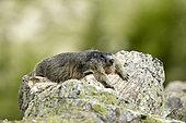 Alpine marmot (Marmota marmota) resting, PN Mercantour, Alps, France