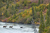 Caribou (Rangifer tarandus) crossing the Susitna river crossed by the. Denali Highway: Paxson to Cantwell, Alaska