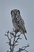 Northern Hawk Owl (Surnia ulula) on a branch, Denali NP, Alaska