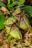 Albany pitcher plant (Cephalotus follicularis), endemic to Perth, culture New Caledonia
