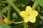 Melon (Cucumis melo) male flower