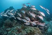 School of Yellow Banded Sea Perch (Lutjanus adetii) coral reef. Heron Island. Great Barrier Reef. Queensland. Autralia.