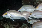 School of Yellow Banded Sea Perch (Lutjanus adetii). Heron Island. Great Barrier Reef. Queensland. Autralia.