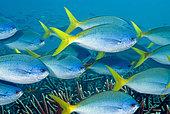 School of Redbelly yellowtail fusilier (Caesio cuning). Heron Island. Great Barrier Reef. Queensland. Autralia.