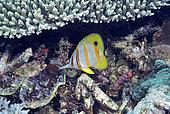 Copperband butterflyfish (Chelmon rostratus). Heron Island. Great Barrier Reef. Queensland. Australia.