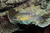 Pearly monocle bream (Scolopsis margaritifera). Heron Island. Great Barrier Reef. Queensland. Australia.