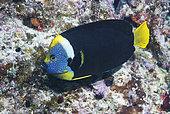 Queensland Yellowtail Angelfish (Chaetodontoplus meredithi). Heron Island. Great Barrier Reef. Queensland. Australia. Pacific Ocean.