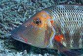 Trumpet Emperor (Lethrinus miniatus). Portrait. Heron Island. Great Barrier Reef. Queensland. Australia. Pacific Ocean.