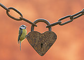 Blue tit (Cyanistes caeruleus) perched on an old heart-shaped padlock