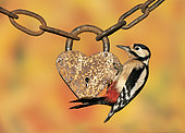 Great spotted woodpecker (Dendrocopos major) perched on a heart shape padlock