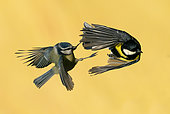 Blue tit (Cyanistes caeruleus) and Great tit (Parus major) fighting in the air, England
