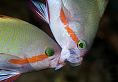 pair of Threadfin Anthias (Pseudanthias huchti) in a territorial fight. Manado, Sulawesi, Indonesia. Pacific Ocean.