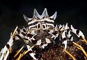 Crabe zèbre (Zebrida adamsii) transportant ses œufs. Détroit de Lembeh, Sulawesi du Nord, Indonésie. Océan Pacifique.