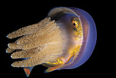 a Jack, Family Carangidae, hiding in a Jellyfish, Thysanostoma thysanura, for protection. Anilao, Philippines. Pacific Ocean