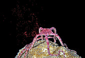 a Ruby Brittle Star, Ophioderma rubicundum, releasing its eggs during spawning. Bonaire, Netherlands Antilles. Atlantic Ocean