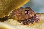 Red Clingfish, Arcos rubiginosus, guards its eggs. Bonaire, Netherlands Antilles. Atlantic Ocean.