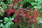 Terebinth (Pistacia terebinthus), fruits, Hérault, France
