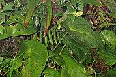 Anthurium (Anthurium guildingii), Bellevue, Martinique
