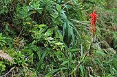 Pitcairnia (Pitcairnia bifrons), Soufrière, Guadeloupe