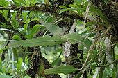 Climbing cactus (Epiphyllum phyllanthus), French Guyana