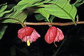 Drymonia (Drymonia coccinea) flowers, French Guiana