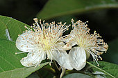 Guava (Psidium guayava) flowers, French Guyana