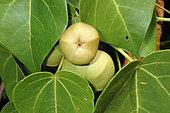 Portia Tree (Thespesia populnea) fruit, St François, Guadeloupe