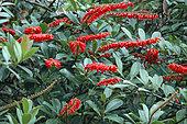 Red Hot Poker Vine (Norantea guianensis), flowers, French Guyana