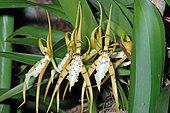 Lance's brassia (Brassia lanceana) flowers, French Guyana
