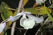 Orchid (Dendrobium aphyllum) flower, tropical Asia