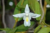 Pigeon Orchid (Dendrobium crumenatum) flower, tropical Asia