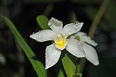 Maxillaria (Maxillaria camaridii) flower, French Guyana